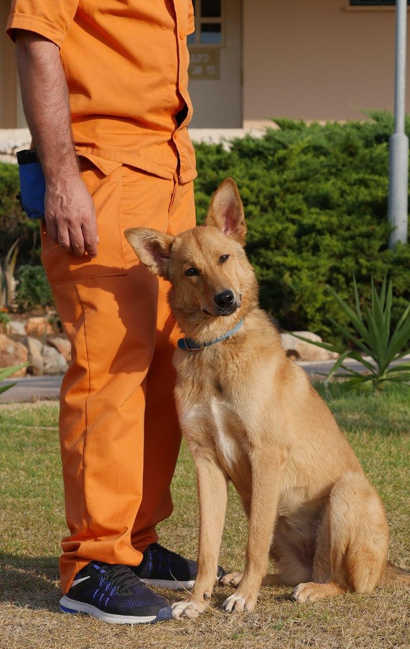 כלבה מעורבת בלונדינית בגודל בינוני