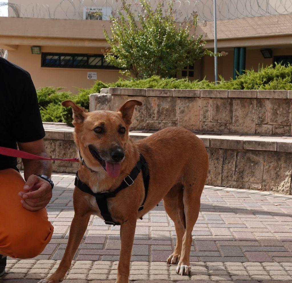 כלבה בינונית בגוון ג׳ינג׳י, בת שלוש וחצי
