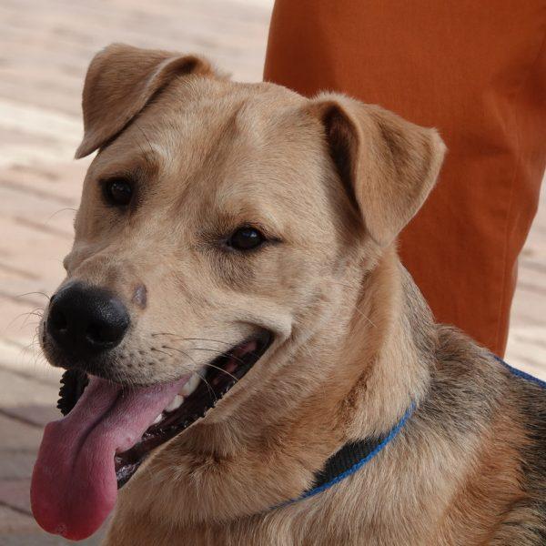 כלב מעורב עם לב זהב, גדול, בן כשנה וחצי.