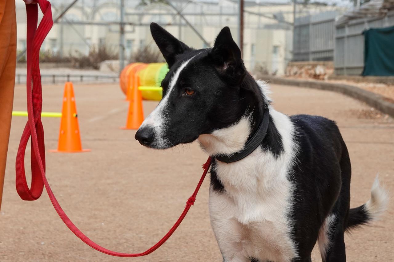 כלבה בעלת אוזניים זקורות, פרווה שחורה לבנה עם רצועה אדומה