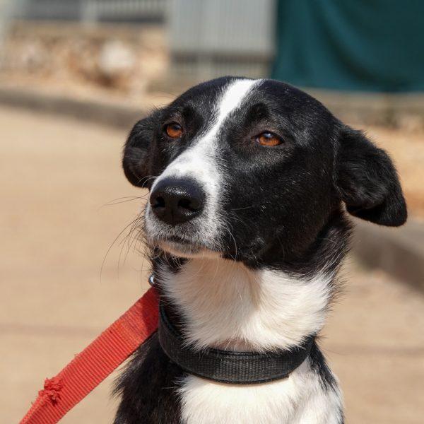 תמונת קלאוז אפ של אליסון: כלבה בצבע שחורה לבנה, פרווה קצרה עם אוזניים משוכות לאחור עם רצועה אדומה