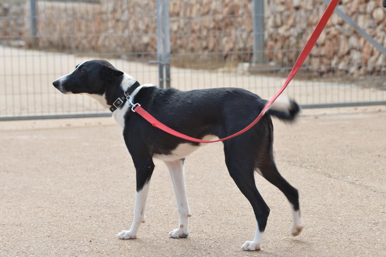 כלבה בינונית עם פרווה שחורה לבנה עומדת עם קולר תכלת ורצועה אדומה