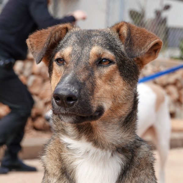 תמונה של פנים של כלב. הכלב בעל פרווה קצרה בצבעים חום, אפור ולבן