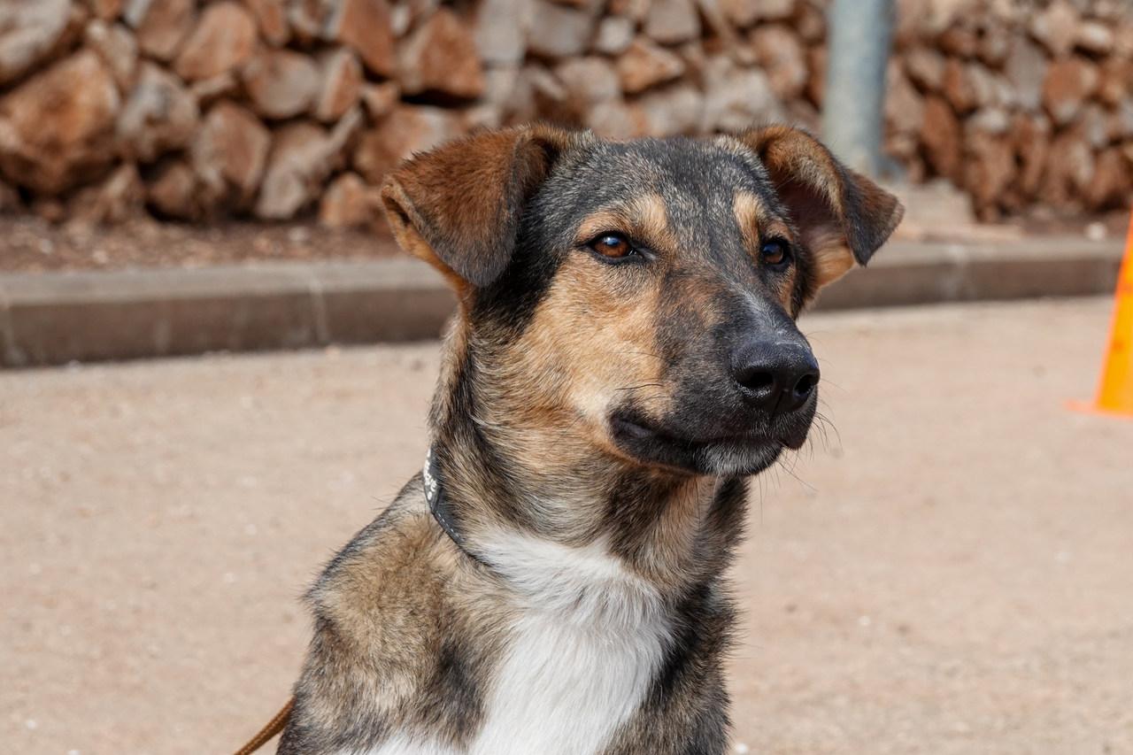 תמונה של פנים של כלב. הכלב בעל פרווה קצרה בצבעים חום, אפור ולבן מסתכל על משהו לאופק