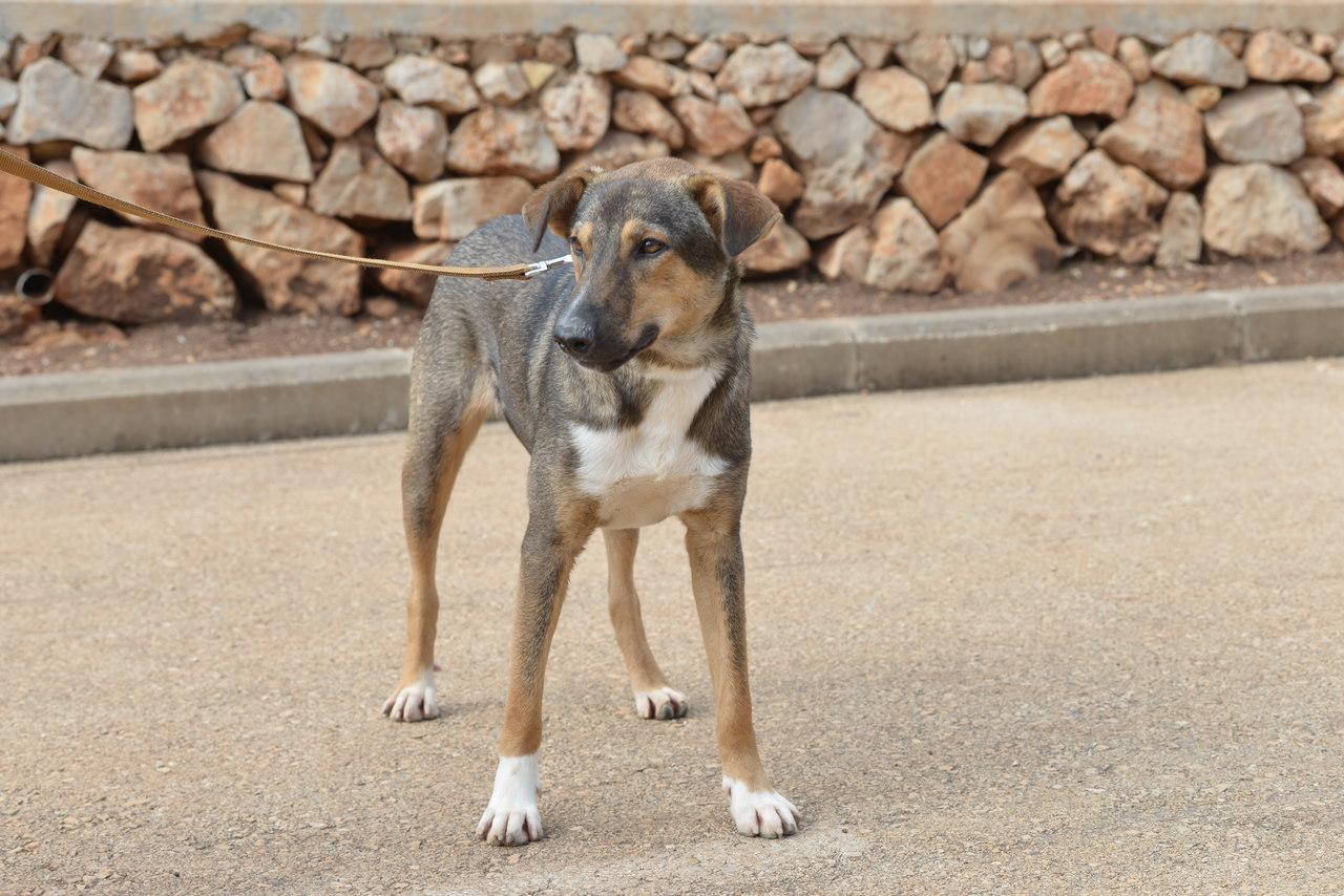 כלב עומד. בעל פרווה קצרה בצבע חום, אפור ולבן