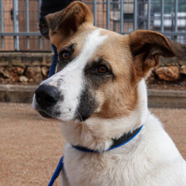 כלבה בעלת פרווה לבנה וחומה, עם מבט נטוי וקולר כחול