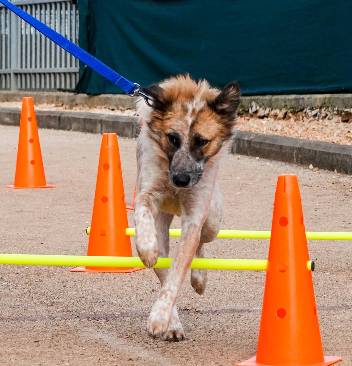 כלב בעל פרווה חומה ולבן קופץ מעל מסלול מכשולים לכלבים.