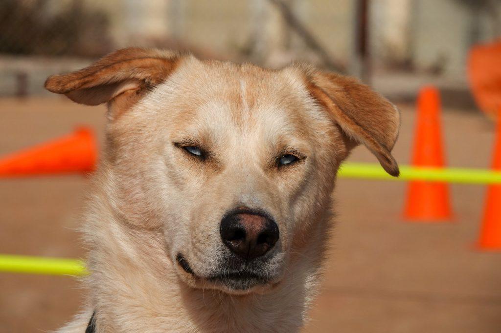 תמונת פנים של כלב בלונדיני בהיר בעל עיניים בתבע כחול בהיר.