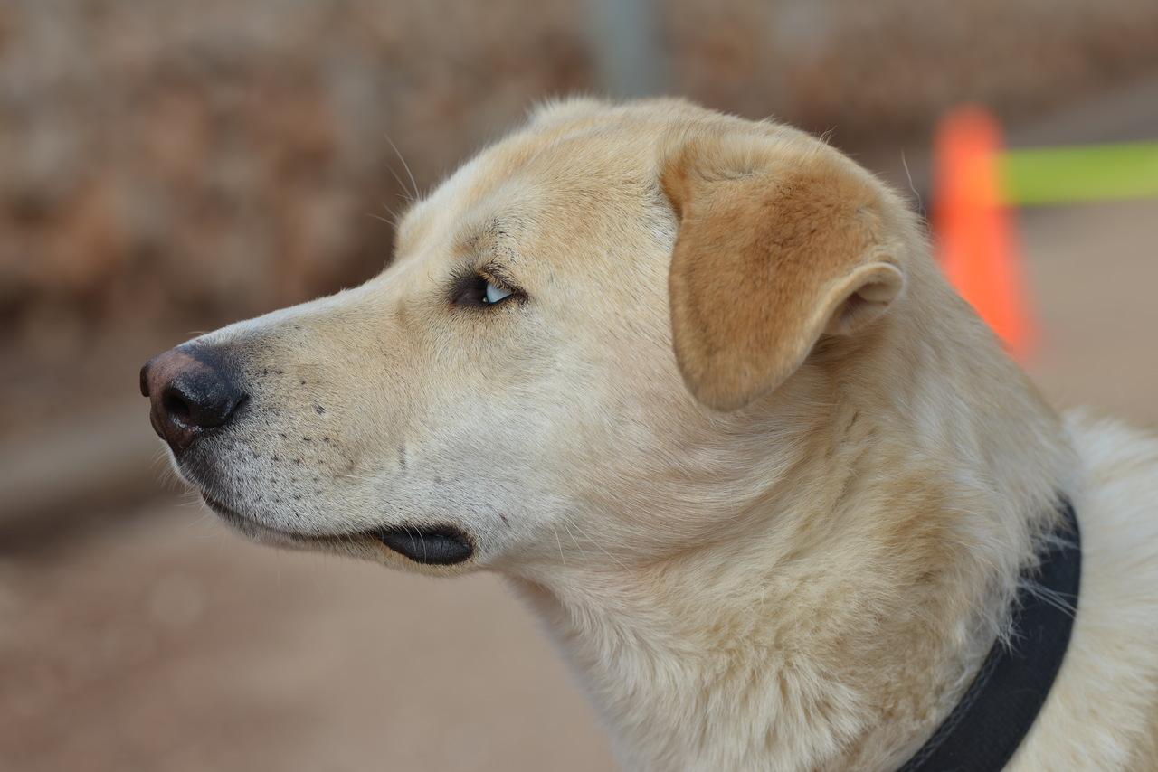תמונת פרופיל של כלב בלונדיני בעל עיניים תכולות.