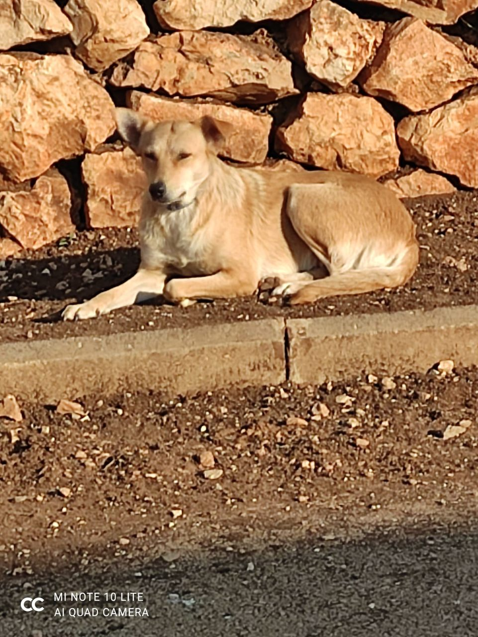 כלבה בגודל בינוני, עם פרווה קצרה בצבע חום בהיר יושבת שכובה על מדרכה.