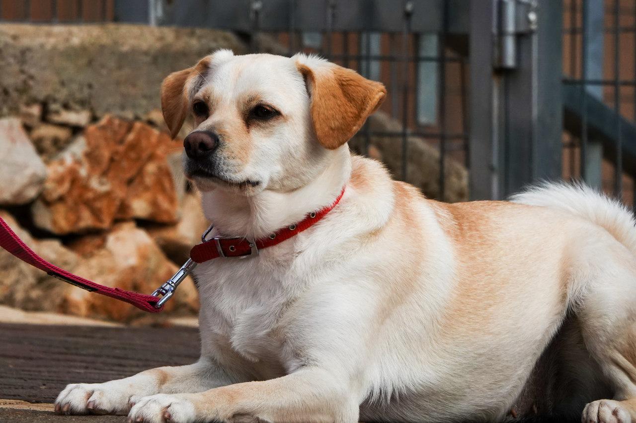 לוסי כלבה בגודל קטן, עם פרווה בהירה וקולר אדום שוכבת על הרצפה,