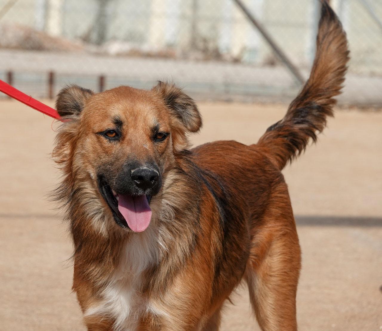 פרודו כלב בעל פרווה חומה ארוכה עם זנב מורם ולשון בחוץ
