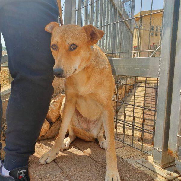 כלבה בינונית בצבע חום- ג׳ינג׳י ישובה ליד רגל, מסתכלת למצלמה.
